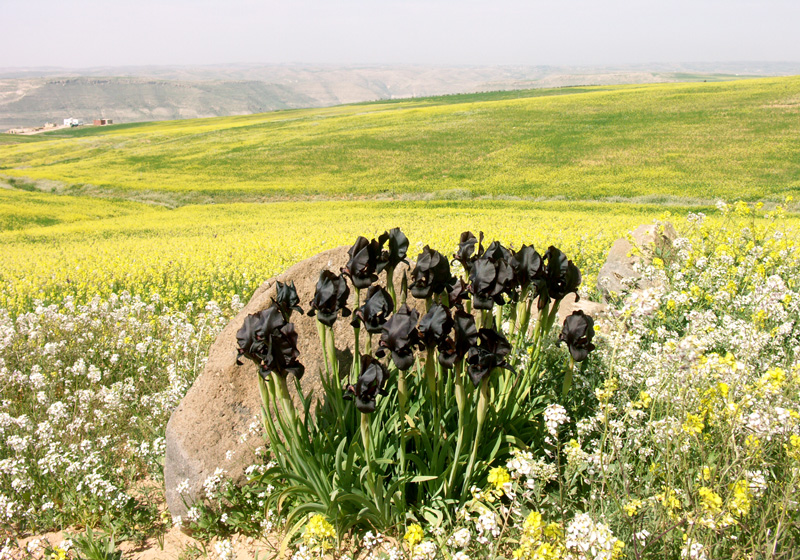 Closer To Ruins And Often In Graveyards You Might Spot The German Iris